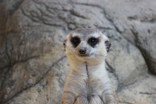 Meerkat 2