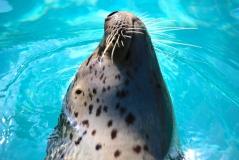 Swimming seal