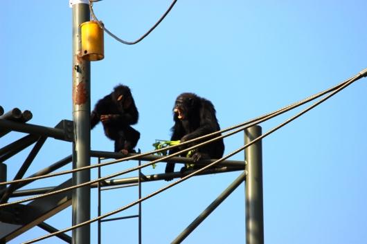 Angry chimp