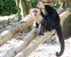 Roatan Monkeys (19 of 29)