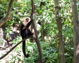 Roatan Monkeys (2 of 29)