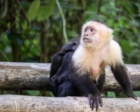 Roatan Monkeys (24 of 29)