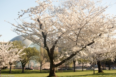 Cherry_Blossoms_2015 (6 of 35)