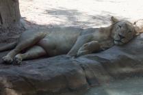 Lion chillin'