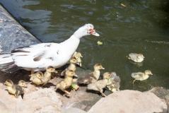 Momma duck