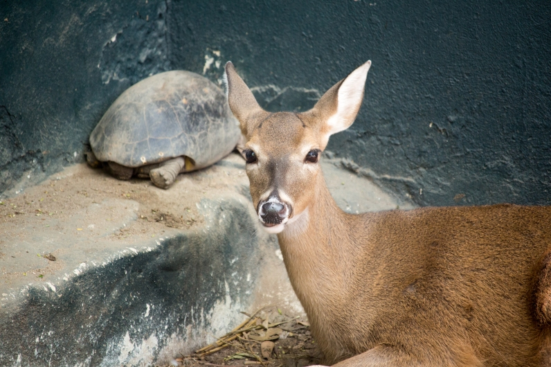 Deer with turtle in the background