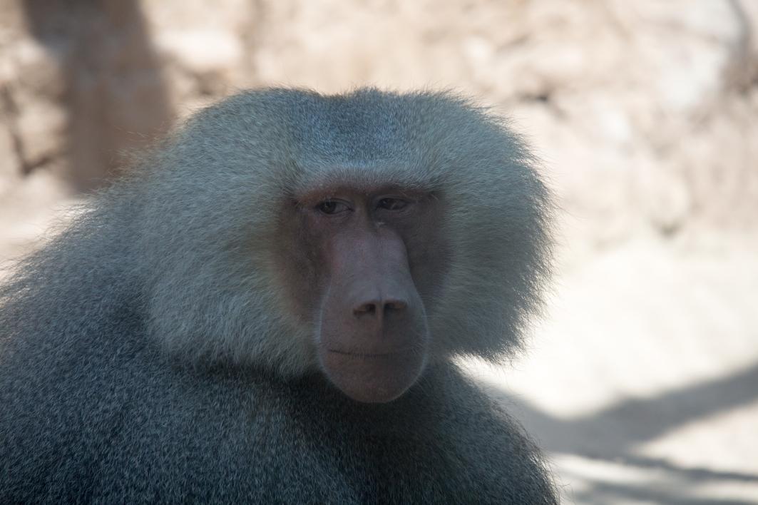 Skeptical baboon