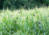 Birds in the corn