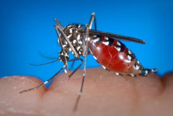 aedes-albopictus-female-mosquito