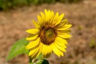 Sunflowers-100