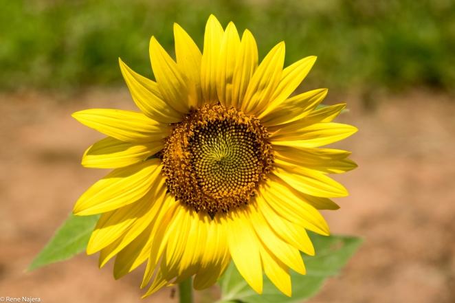 Sunflowers-101