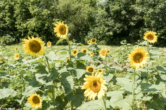 Sunflowers-103