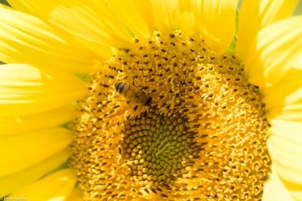 Sunflowers-104