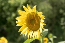 Sunflowers-105