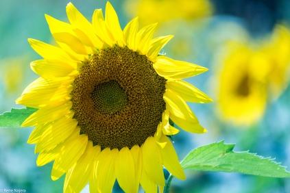 Sunflowers-108