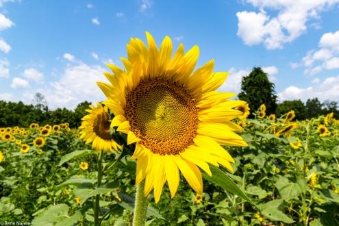 Sunflowers-109