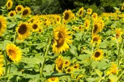 Sunflowers-110