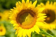 Sunflowers-111