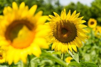 Sunflowers-112