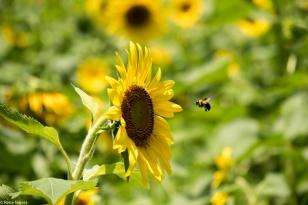 Sunflowers-113