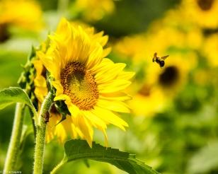 Sunflowers-115