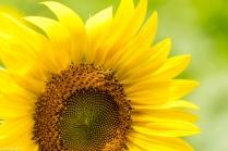 Sunflowers-116