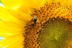 Sunflowers-117