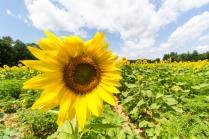 Sunflowers-119