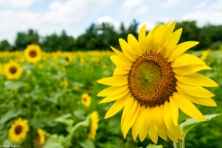 Sunflowers-120