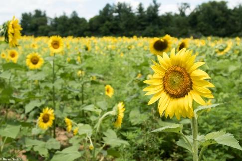 Sunflowers-121