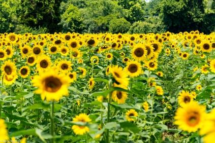Sunflowers-122