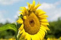 Sunflowers-124
