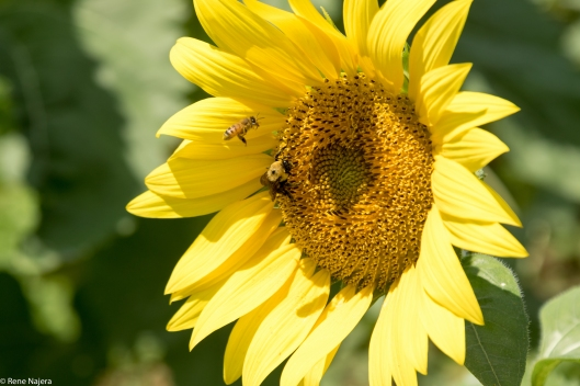 sunflowers-102