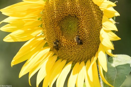 sunflowers-107