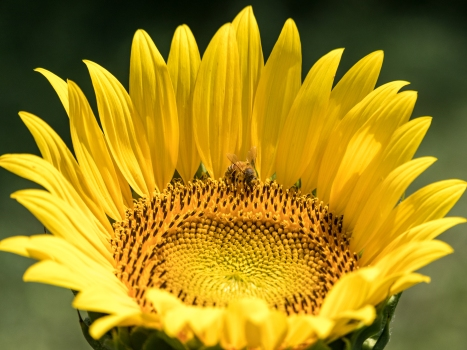 hail_bee_sunflower_picture